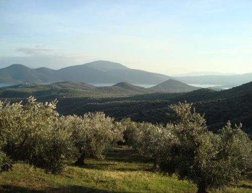 Is The Greek Olive Growing Industry Really  Sustainable & Solid?