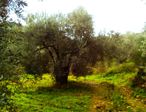 OLIVE OIL IS GOOD FOR HEALTH AND THE ENVIRONMENT